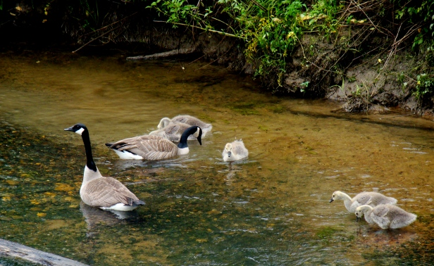 Baby Geese on Hiwassee