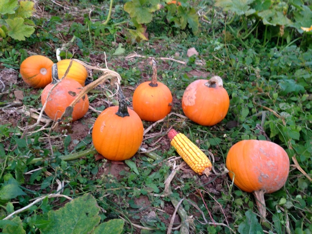 Pumpkins on the Ground