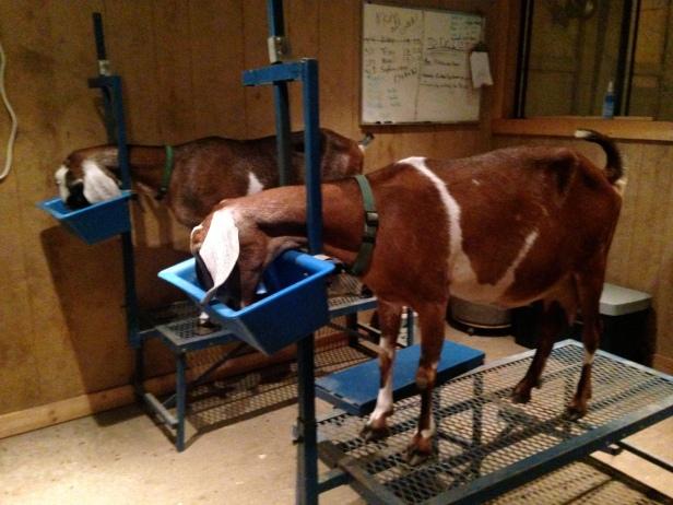 Goat Milking Riser