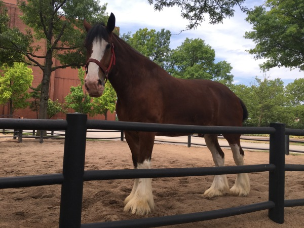 Anheuser Busch Clydesdale