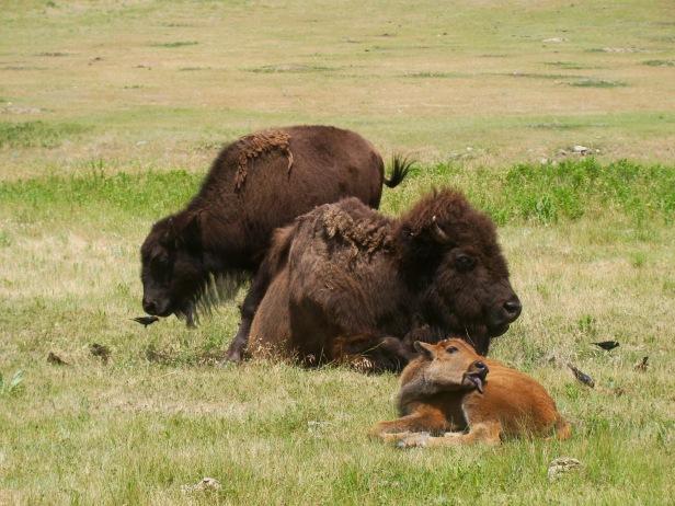 Custer State Park Buffalo Calf