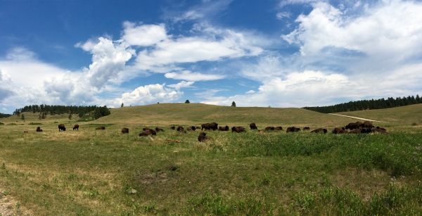 Custer State Park Buffalo Panorama